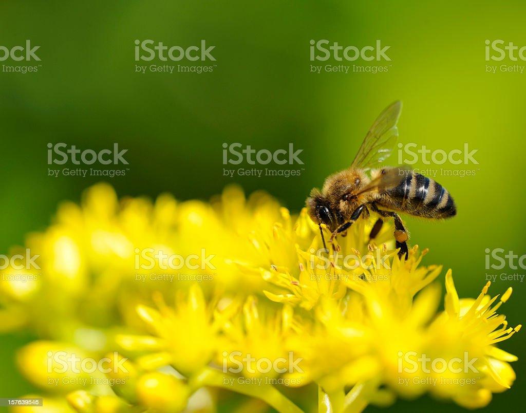 Honeybee on Yellow Flower stock photo
