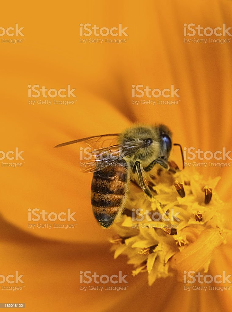 Honeybee on Yellow Flower stock photo