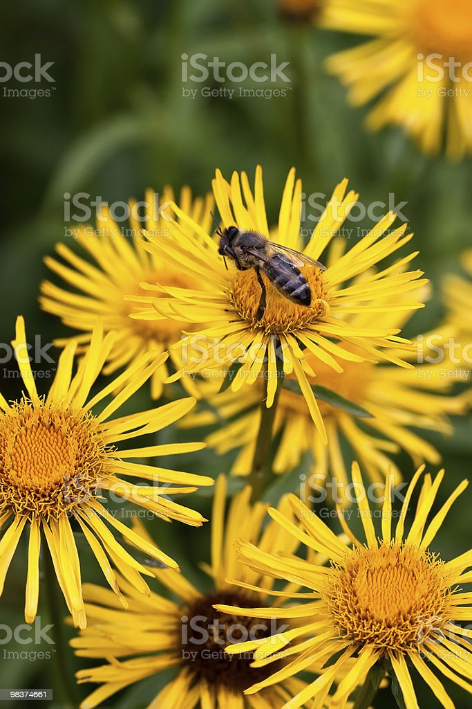 Honeybee on Yellow Flower royalty-free stock photo