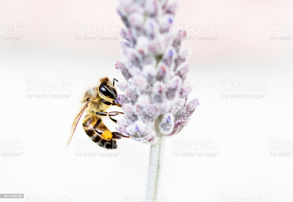 Honeybee perched on lavender flower stock photo