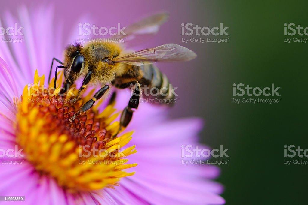 Honeybee. stock photo