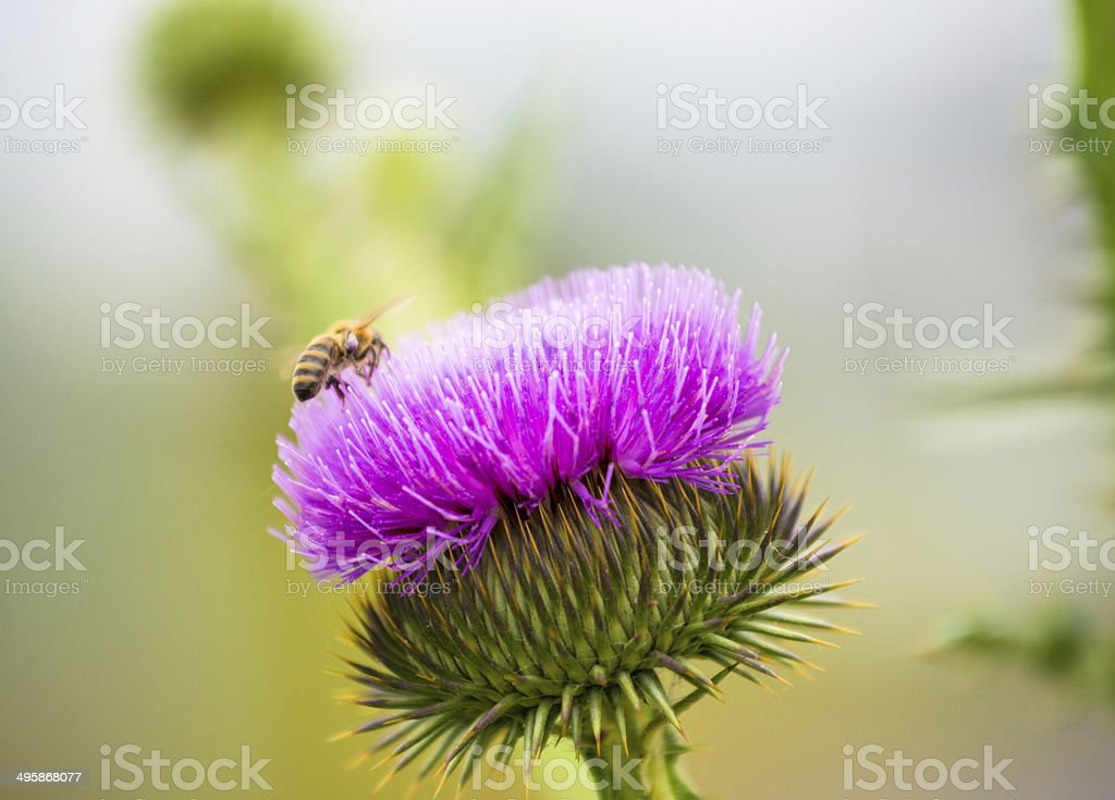 Honeybee royalty-free stock photo