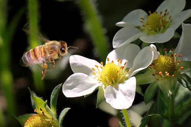 honeybee - wachsblume stock-fotos und bilder