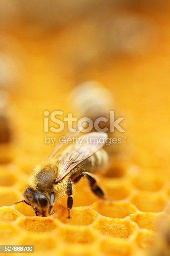 istock Honeybee 527668700