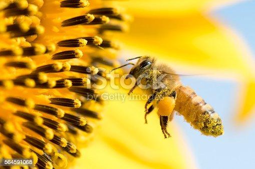 Honey Bee pollinating sunflower.