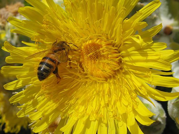 honeybee - fsachs78 stockfoto's en -beelden