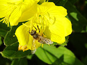 Honeybee pollinating a yellow flower, evening primrose (Oenothera biennis)