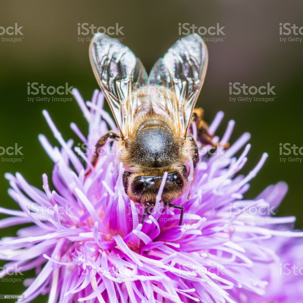 Honeybee Pollinating Agrimony Flower stock photo