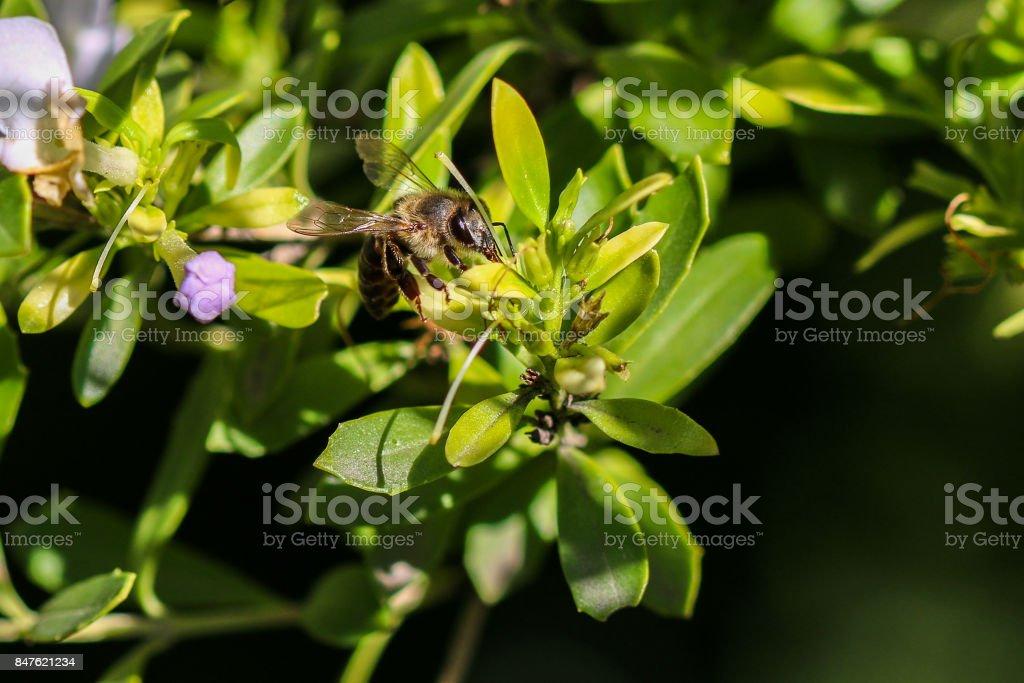 Honeybee sitting on a flowering shrub macro shot. stock photo