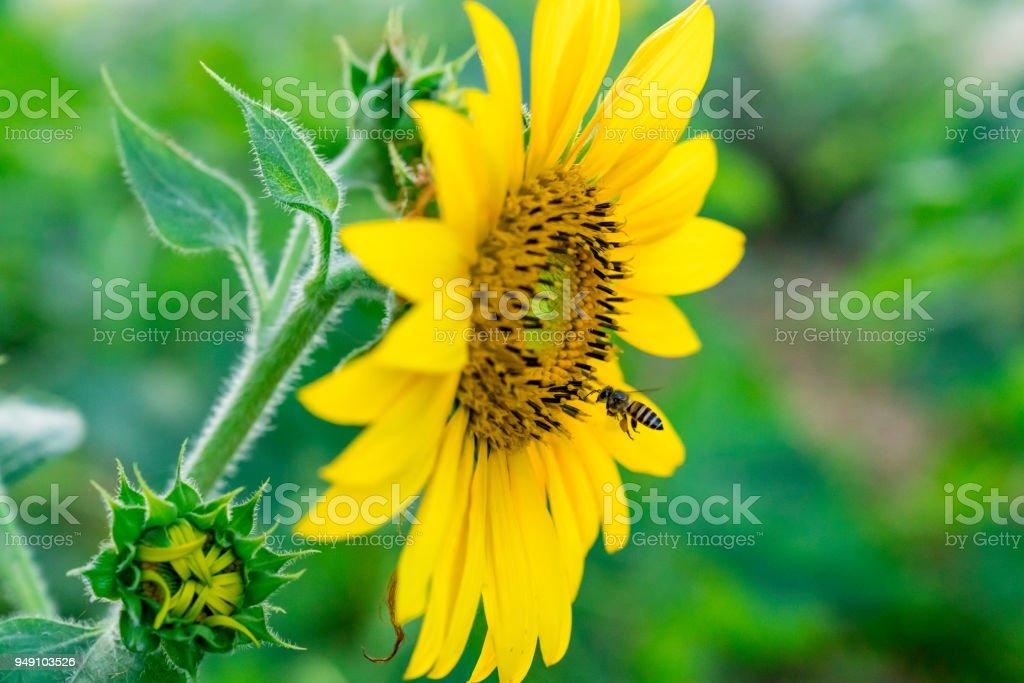 Honeybee Sunflower Blooming close-up summer Garden Front-yard stock photo