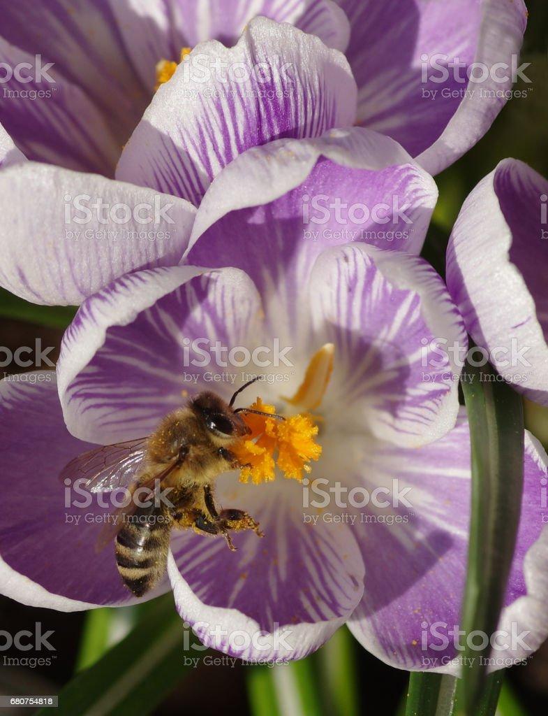 Honeybee visiting blossoming crocuses stock photo