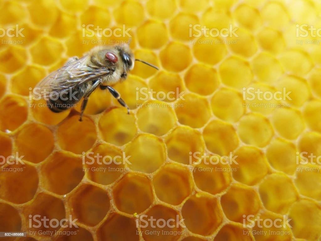 Honeybee with varroa mite sitting on honeycombs stock photo
