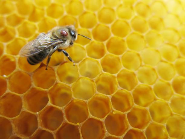 Honeybee with varroa mite sitting on honeycombs One of the biggest problems to honeybee population is the varroa mite. These little mites kill thousands of hives every year by weakening individual bees during the winter formic acid stock pictures, royalty-free photos & images