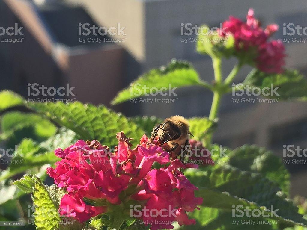 Honeybee @ work photo libre de droits