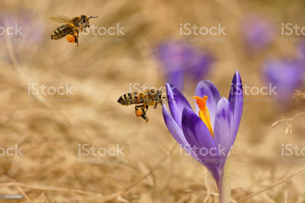 Honeybees (Apis mellifera), bees flying over the crocuses royalty-free stock photo