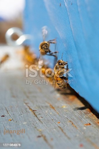 The honeybee flying onto the entrance board, with no is in sharp focus. Most of the worker honeybees are entering the hive with yellow pollen sacs but some fly home empty-legged.