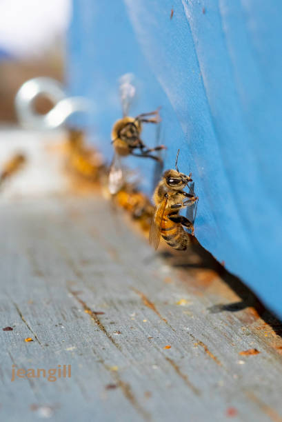 Honeybees entering hive with no pollen stock photo