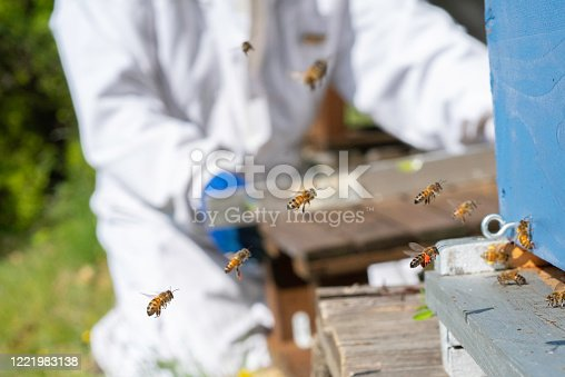 The honeybee flying onto the entrance board, with red pollen sacs, is in sharp focus. The focus is on the worker honeybees entering the hive, mostly with yellow pollen sacs, while the beekeeper works in the background, using a spirit level to level the base for a hive.