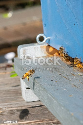 The honeybee flying onto the entrance board, with yellow pollen sacs, is in sharp focus.