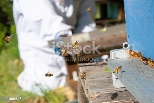 The honeybee flying onto the entrance board, with yellow pollen sacs, is in sharp focus. The focus is on the worker honeybees entering the hive with yellow pollen sacs, while the beekeeper works in the background, using a spirit level to level the base for a hive.