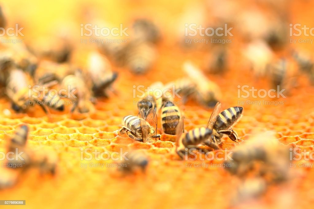 Honeybees in honeycomb stock photo