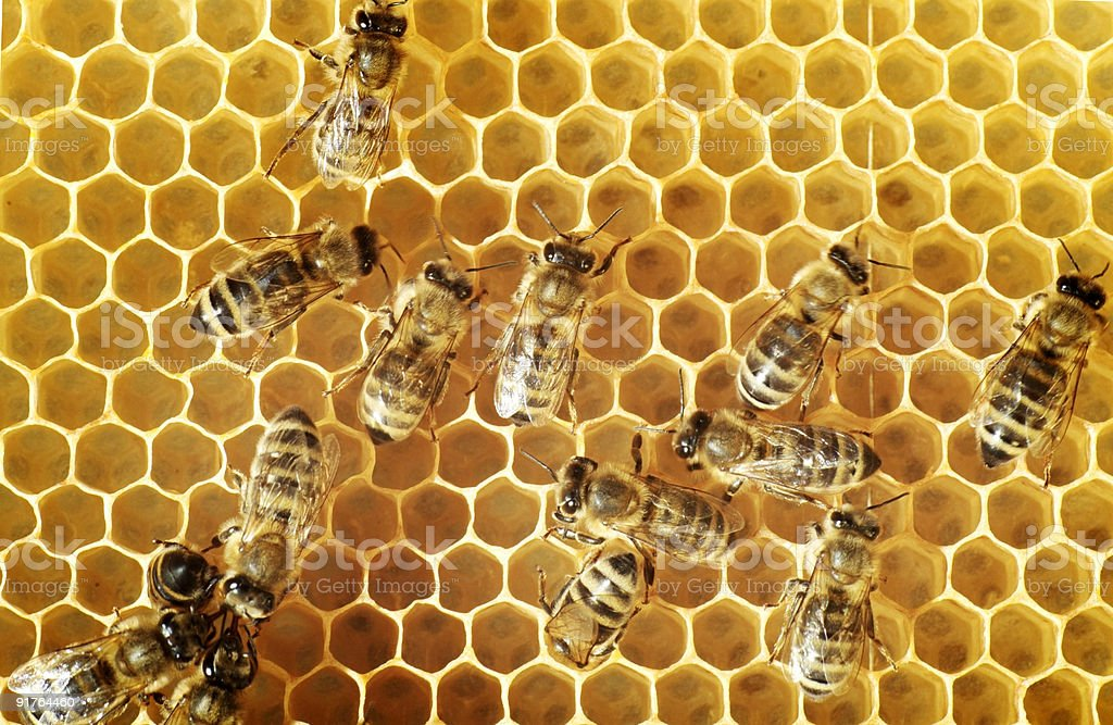 Honeybees on a comb royalty-free stock photo