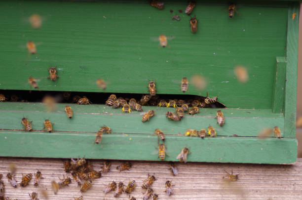 Honeybees on the hive stock photo