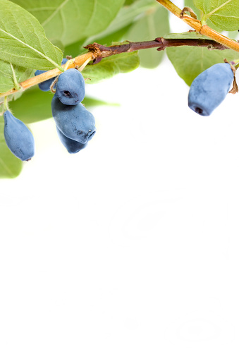 Honeyberry With Highest Antioxidant Level Of All Berries Stock Photo - Download Image Now