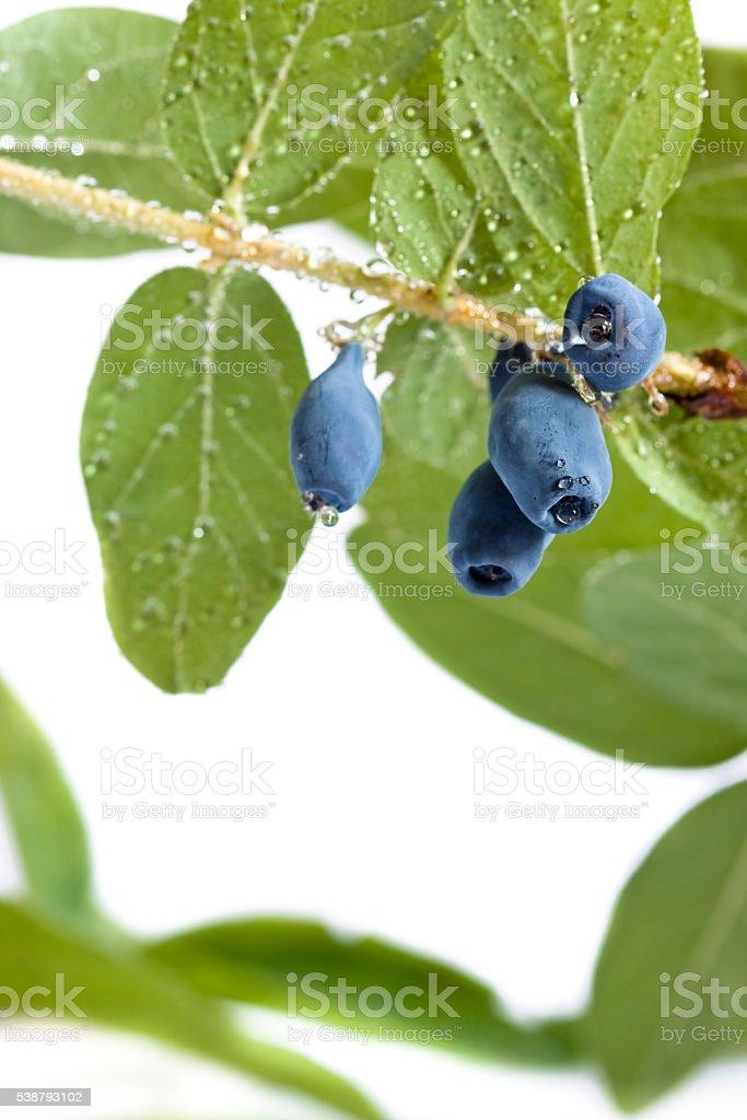 honeyberry with highest antioxidant level of all berries Honeyberry, Haskap, blue-berried honeysuckle, sweet berry honeysuckle (Lanicera caerulea L. var. kamtschatica Sevast.) the most precious superfood berry with 21,647 ORAC level, the highest antioxidant of all berries. The berry growing in far North-East Asia.  Antioxidant Stock Photo