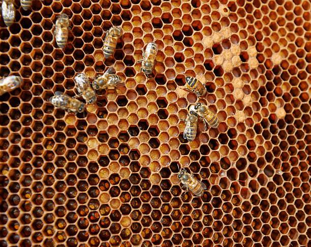 honigwabe mit eiern, larvae und schneebedeckten ausflug - eierstich stock-fotos und bilder