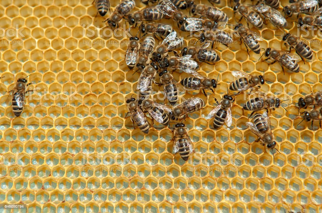 Honeycombs with bees stock photo