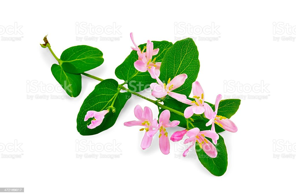 Honeysuckle a twig with pink flowers stock photo