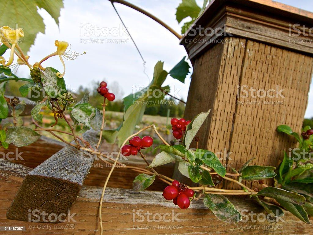 Honeysuckle Caprifoliaceae Lonicera Etrusca Berries On Trellis The ...