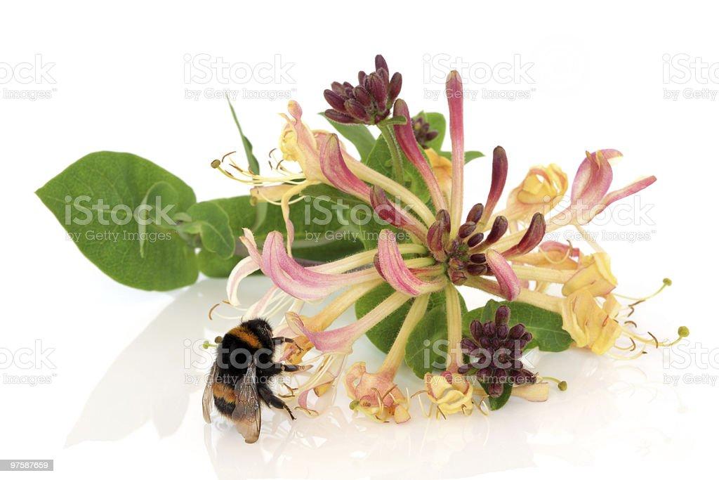 Chèvrefeuille fleur et abeille photo libre de droits