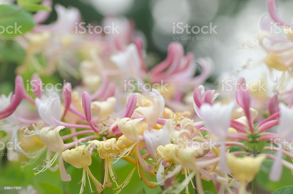 honeysuckle flowers stock photo