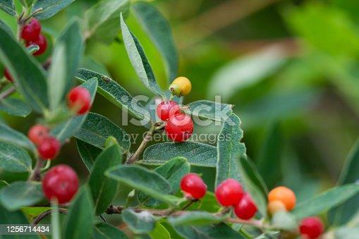 Honeysuckle (Lonicera sp.) fruits in summer.