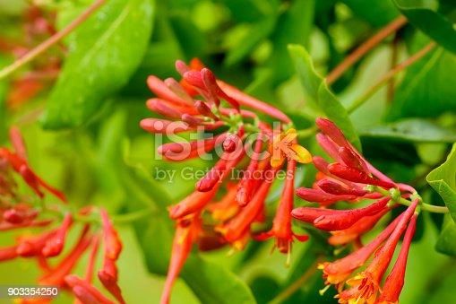The flower of a honeysuckle growing in a summer garden.