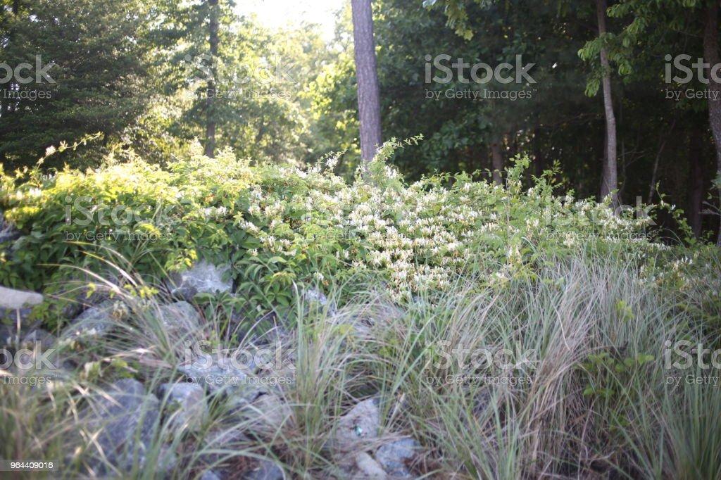 Kamperfoelie groeit uit groot rotsblok stapel met zonlicht en bomen in de achtergrond - Royalty-free Achtergrond - Thema Stockfoto