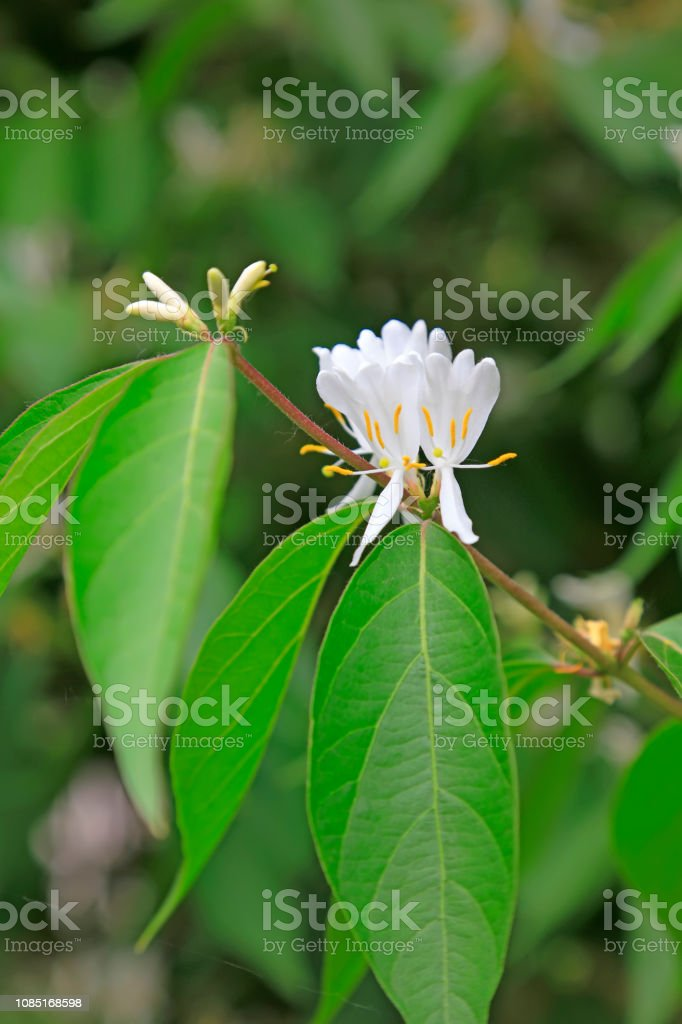 Geißblatt im Garten – Foto