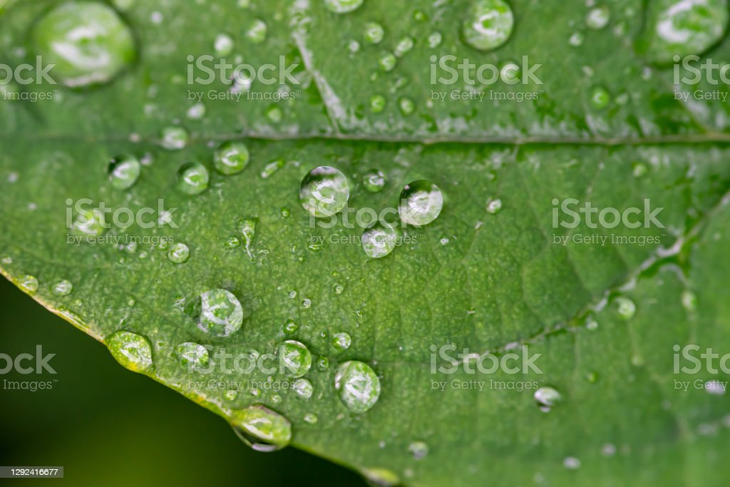 Honeysuckle leaf A honeysuckle leaf with rain droplets on the surface. 2020 Stock Photo