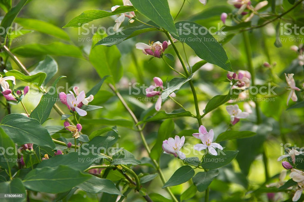 Honeysuckle Lonicera are popular garden plants stock photo