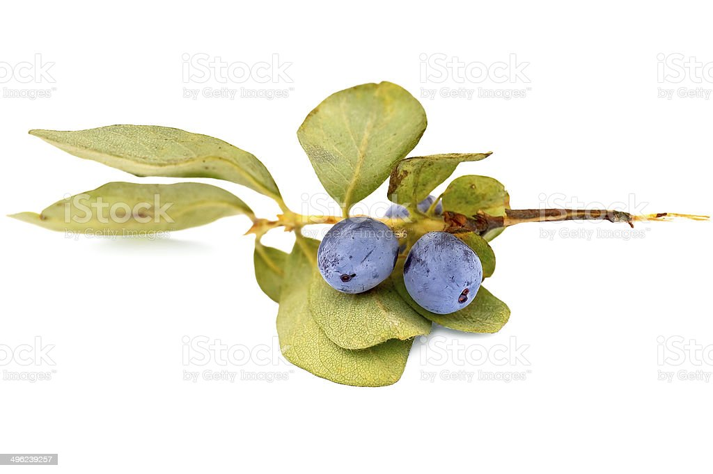 Honeysuckle on a branch royalty-free stock photo