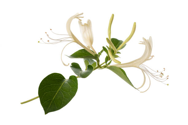 honeysuckle - branch plant part stock pictures, royalty-free photos & images
