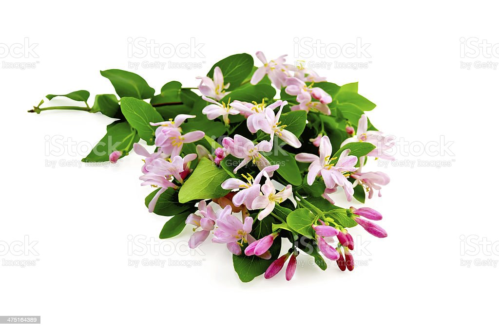 Honeysuckle with pink flowers lush stock photo