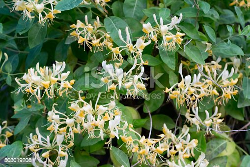 Scented Honeysuckle with yellow and white flowers. a climbing plant found in the woods and in gardens