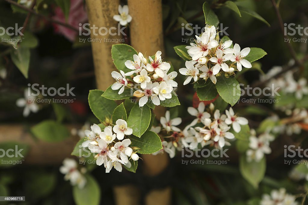 Hong Kong Hawthorn / Rhaphiolepis Indica stock photo