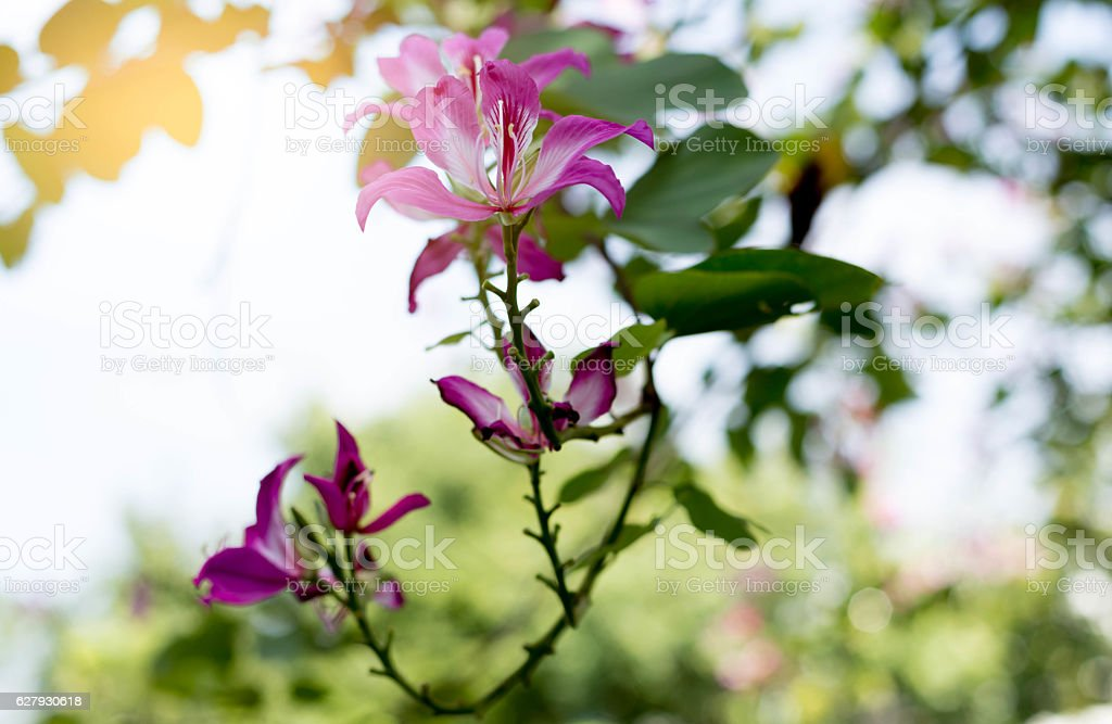 Hong Kong orchid,  Purple or Bauhinia flower blooming stock photo
