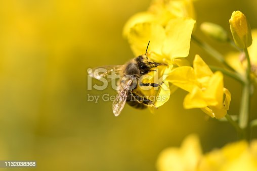 Honey Bee collecting pollen on yellow rape flowers against yellow background
