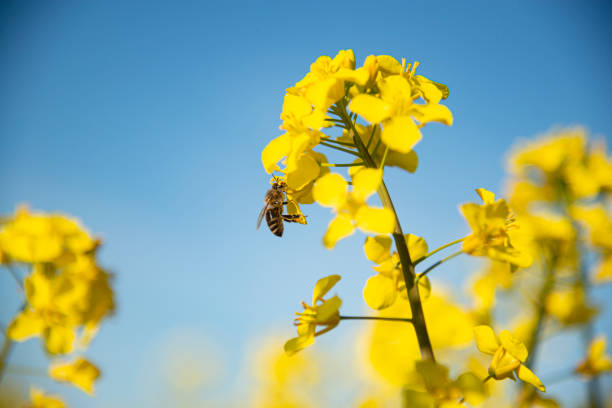 Honneybee collecting nectar on a rapeseed flower stock photo