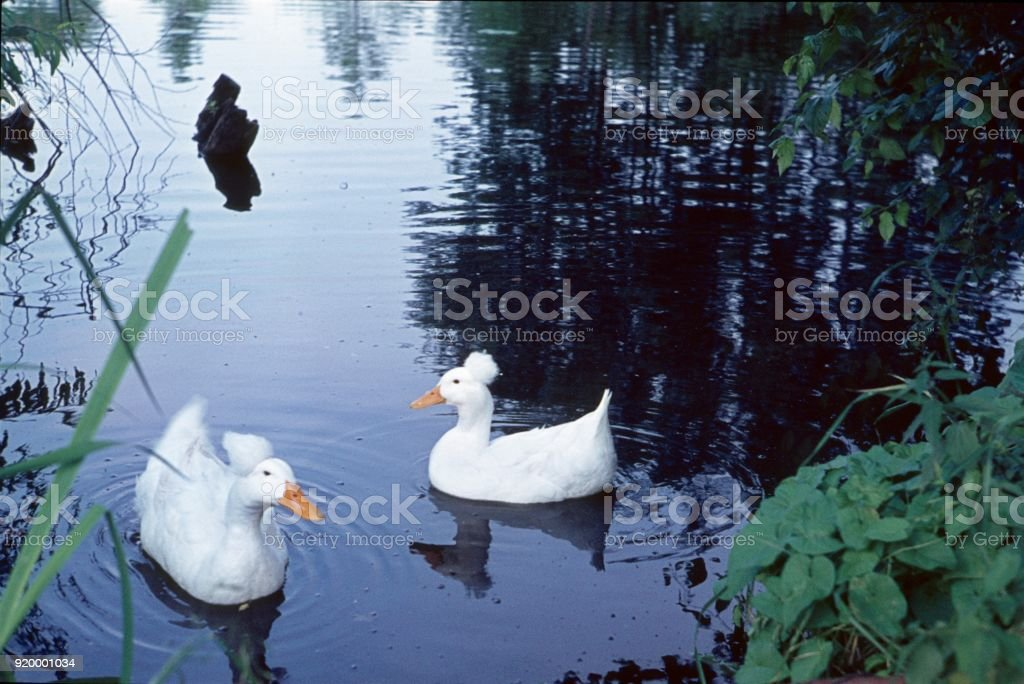 Hood duck on a pond stock photo